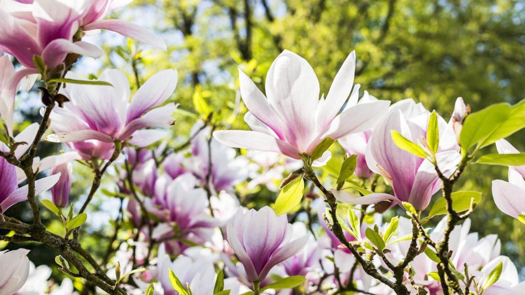 Magnolia flowers - copyright Felix Mittermeier